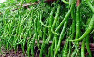 Green chilli farming